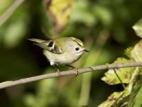 Mysikrólik - opis, występowanie i zdjęcia. Ptak mysikrólik ciekawostki