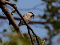 Sikora czarnogłowa - opis, występowanie i zdjęcia. Ptak sikora czarnogłowa ciekawostki
