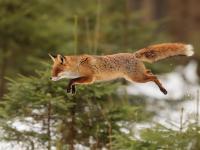 Lisy, które wchodzą na drzewa jak wiewiórki