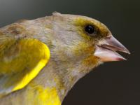 Dzwoniec - opis, występowanie i zdjęcia. Ptak dzwoniec ciekawostki