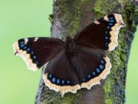 Rusałka żałobnik ‒ motyl środka lasu