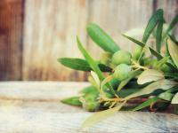 Liść oliwny – biblijne zioło o leczniczych właściwościach