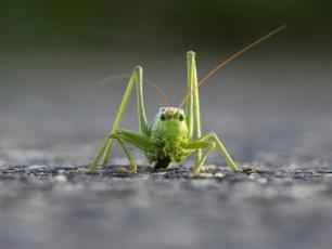 Pasikonik zielony ‒ bezwzględny myśliwy
