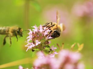 Zioła, które pomagają pszczołom