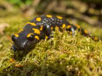 Całkiem (nie)rozmowna salamandra plamista