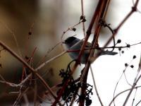Kapturka - opis, występowanie i zdjęcia. Ptak kapturka ciekawostki