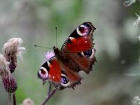 Rusałka pawik - opis, występowanie i zdjęcia. Owad rusałka pawik ciekawostki