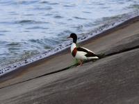 Ohar - opis, występowanie i zdjęcia. Ptak ohar ciekawostki