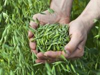 Zielony eliksir piękna z trawą owsianą w roli głównej