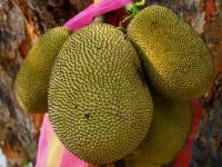 Dżakfrut owoc - właściwości, witaminy i wartości odżywcze dżakfruta