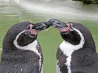 Dlaczego giną pingwiny Humboldta?