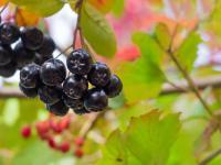 Aronia owoc - właściwości, witaminy i wartości odżywcze aronii
