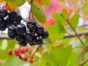 Mini owoc o wielkiej mocy. Dlaczego warto jeść aronię?