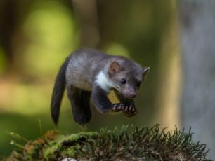 Kuna domowa – dziki mieszczuch, który potrafi nieźle narozrabiać