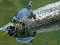 Żółw ozdobny - opis, występowanie i zdjęcia. Gad żółw ozdobny ciekawostki