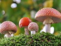 Muchomor czerwony - opis, występowanie i zdjęcia. Grzyb muchomor czerwony ciekawostki