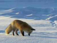 Jak zwierzęta radzą sobie zimą?
