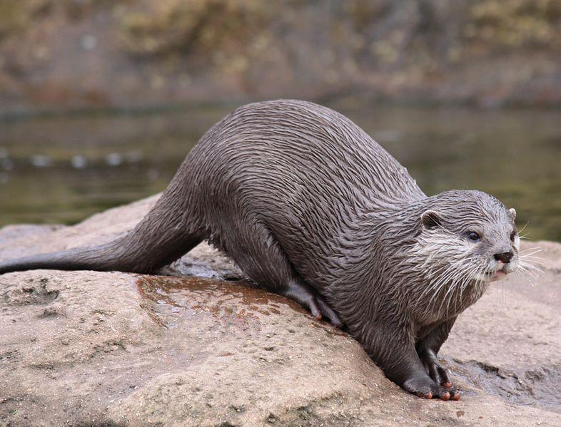 By Drew Avery (European Otter {Lutra lutra}) [CC BY 2.0], via Wikimedia Commons