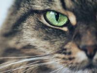 Koty - przystosowanie doskonałego łowcy