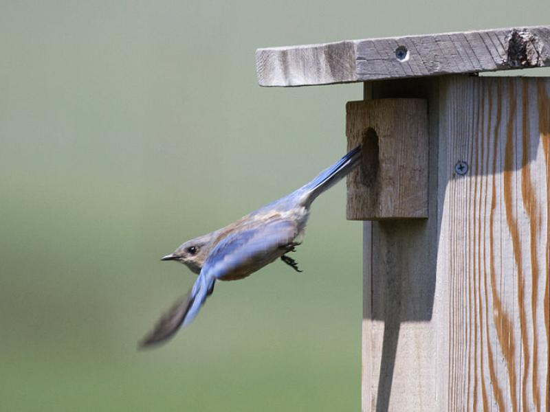 By Kevin Cole from Pacific Coast, USA (en:User:Kevinlcole) (Western Bluebird using Nest Box. Brood unknown.) [CC BY 2.0], via Wikimedia Commons
