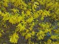 Forsycja krzew – sadzenie, uprawa i pielęgnacja forsycji