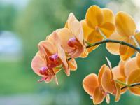 Storczyki (orchidee) kwiaty – sadzenie, uprawa i pielęgnacja storczyków