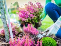Wrzosy – zdrowe i kolorowe krzewy do ogrodu