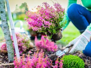 Wrzosy w ogrodzie - sadzenie, uprawa i pielęgnacja wrzosów