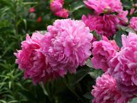 Piwonie – szlachetna konkurencja dla róż