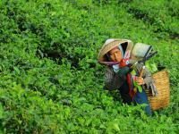 Herbata – właściwości, działanie i rodzaje herbat
