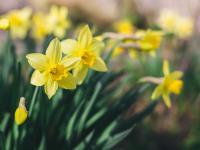 Narcyzy są symbolem próżności, zgubnego piękna i wiosennego przebudzenia