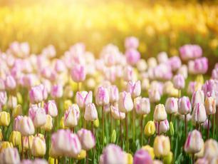 Tulipany kwiaty – sadzenie, uprawa i pielęgnacja tulipanów