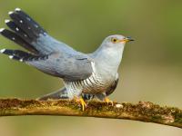 Kukułka pospolita – opis, występowanie i zdjęcia. Ptak kukułka pospolita ciekawostki