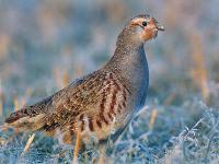 Kuropatwa zwyczajna - opis, występowanie i zdjęcia. Ptak kuropatwa zwyczajna ciekawostki