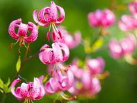 Lilie  -  kapryśna arystokracja, która rozjaśni każdy ogród