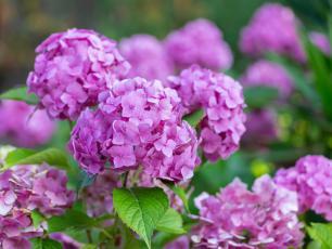 Hortensja krzew – sadzenie, uprawa i pielęgnacja hortensji