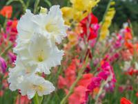 Mieczyki kwiaty – sadzenie, uprawa i pielęgnacja mieczyków