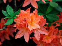Azalia krzew – sadzenie, uprawa i pielęgnacja azalii