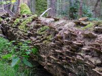 Ekolodzy nie przystąpią do zespołu ds. Puszczy Białowieskiej