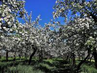Jak i kiedy przycinać drzewa owocowe?