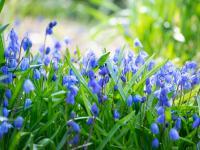 Cebulice syberyjskie kwiaty – sadzenie, uprawa i pielęgnacja cebulic syberyjskich