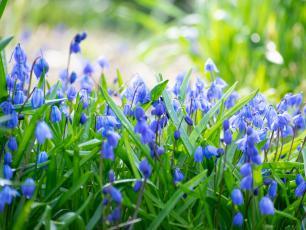 Cebulice syberyjskie – błękitne kwiaty do ogrodu