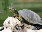 Żółw błotny, fot. Kacper Kowalczyk