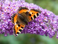 Budleja Dawida czyli pachnący motyli krzew