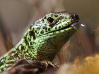 Jaszczurka zwinka - opis, występowanie i zdjęcia. Gad jaszczurka zwinka ciekawostki