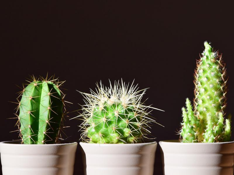 Kaktusy Choroby Pielęgnacja I Leczenie Kaktusów Ekologiapl