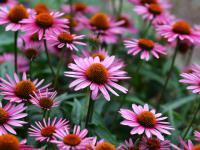Jeżówki kwiaty – sadzenie, uprawa i pielęgnacja jeżówek