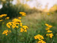 Wrotycz ‒ wyklęta roślina o cennych właściwościach leczniczych