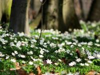 Zawilce kwiaty – sadzenie, uprawa i pielęgnacja zawilców