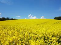 Niebezpieczne neonikotynoidy wracają na pola